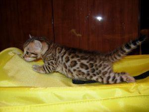 Питомник бенгальских кошек в Нижнем Новгороде Benganelio.